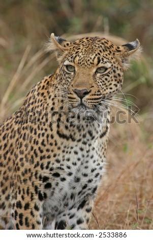 Portrait of a leopard - stock photo