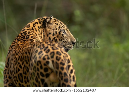 Portrait of a Leopard in green at Kabini Forest Reserve, India Zdjęcia stock ©
