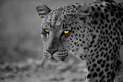 Portrait of a leopard in the Namibian desert with intense yellow eyes