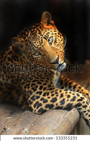 Portrait of a leopard in the summer