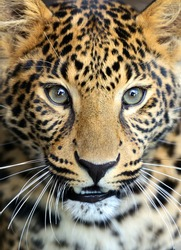 Portrait of a Leopard in the wild African savannah