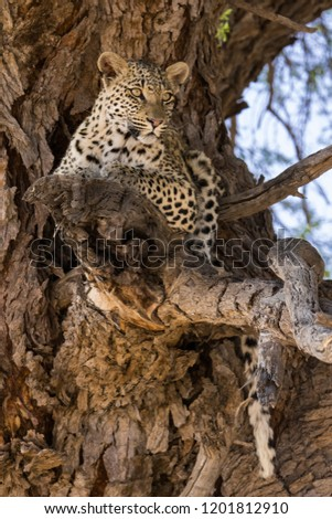 Portrait of a leopard lying in a camel thorn tree in soft light in Kgalagadi (Africa) looking cautiously; Panthera pardus #1201812910