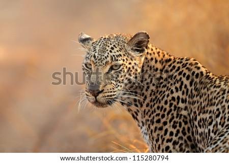 Portrait of a leopard (Panthera pardus), South Africa