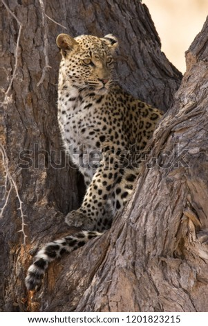 Portrait of a leopard sitting comfortably in a camel thorn tree in soft light in Kgalagadi (Africa) looking down cautiously #1201823215