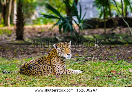 Portrait of a leopard taking rest on the grass in Mexico