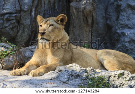 Portrait of a  Lion - stock photo