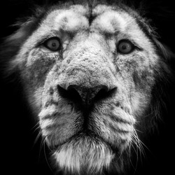 Portrait of a lion against in black and white