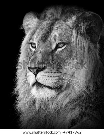 stock photo : Portrait of a lion in black and white