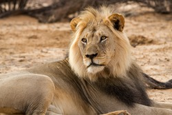 Portrait of a lion in the Kgaligadi Transfrontier National Park South  Africa