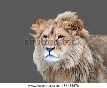 Portrait of a lion. Isolated on a gray background.