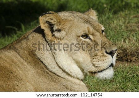 Portrait of a Lioness head.