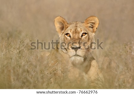 Portrait of a lioness (Panthera leo), South Africa
