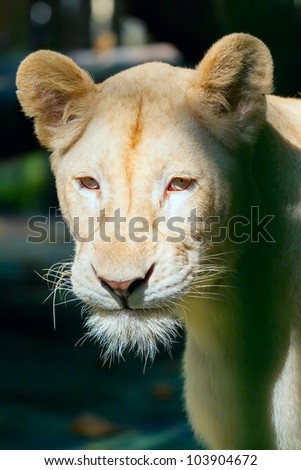 portrait of a lioness shined with the sun