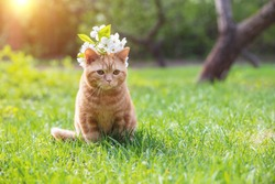 Portrait of a little kitten with cherry flowers on the head. The cat walks in a garden in spring