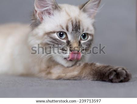 Portrait of a little kitty licks merry