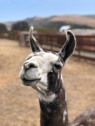 Portrait of a llama at an animal sanctuary