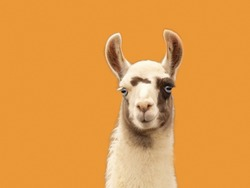 Portrait of a llama isolated on orange