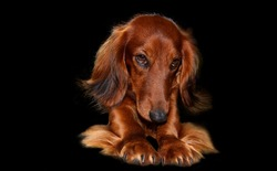 Portrait of a long-haired dachshund in bright red color on a dark background. The dog is in an interesting pose, pulling up. Shiny, well-groomed coat. Close-up. Free space