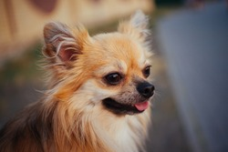 Portrait of a long haired ginger chihuahua dog outdoors.