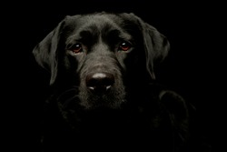 Portrait of a lovely labrador retriever looking curiously at the camera