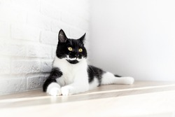 Portrait of a lying gorgeous black and white domestic cat on a white background. Black kitten with white chest and mustache. Animal themes, home life. Pet Day, World Cat Day. Copy space.