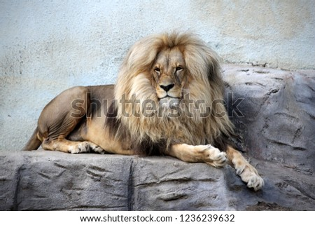 Portrait of a lying lion. King of animals.