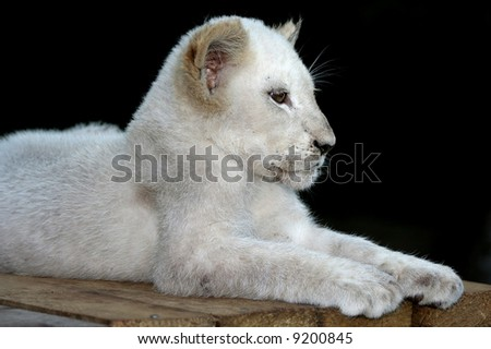 Portrait of a magnificent white lion against a dark background and in a Sphinx like pose