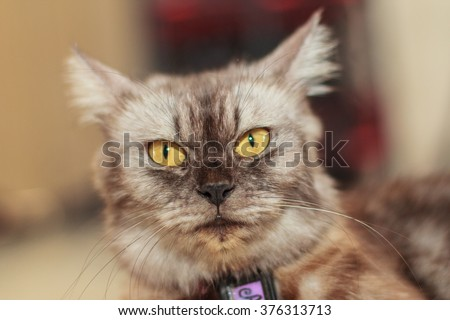 Portrait of a Maine Coon cat. Maine Coons are well-known for their intelligence and their ability for quickly learning knew things. #376313713