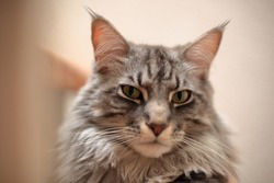 Portrait of a Maine Coon tomcat