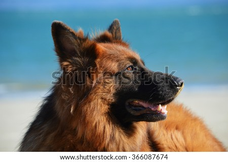 Portrait of a majestic long-haired German Shepherd dog against the blue sky and the beach, his eyes reflecting the light