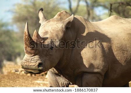 Portrait of a male bull white Rhino grazing in Etosha National park, Namibia. Wild african animals. Close up of a rhino Сток-фото ©