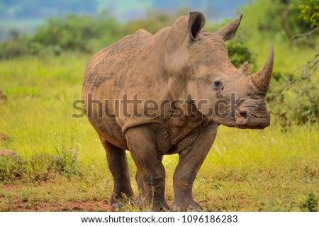 Portrait of a male bull white Rhino grazing in Kruger National park during our stay in Marloth park Сток-фото ©