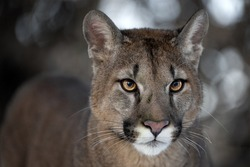 Portrait of a male by a cougar in the park.