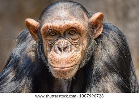 portrait of a male chimpanzee