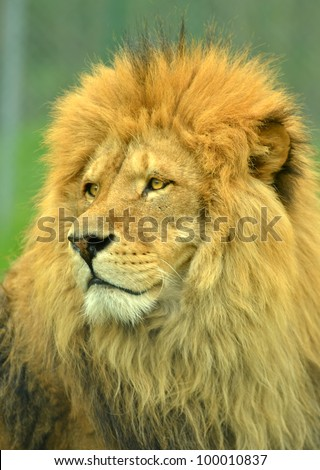 Portrait of a male lion, king of the beasts