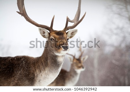Portrait of a male of fallow deer in the snow #1046392942