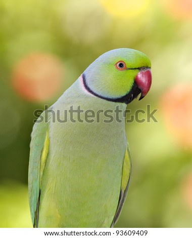 Portrait of a male Ringnecked Parakeet, Dubai, United Arab Emirates.
