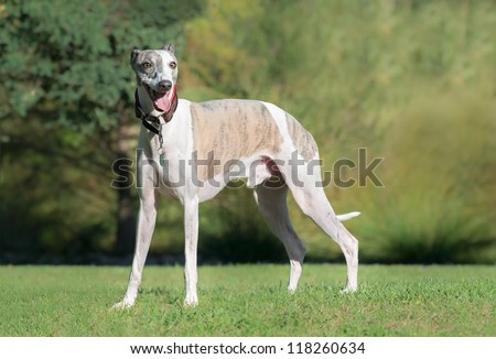 Portrait of a male whippet dog