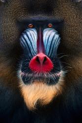 Portrait of a mandrill monkey