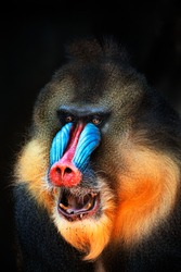 portrait of a mandrill showing its teeth