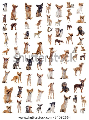 portrait of a many purebred  chihuahuas in front of white background - stock photo