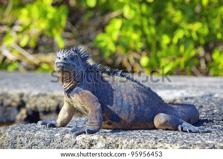 Portrait of a Marine Iguana on Galapagos - stock photo