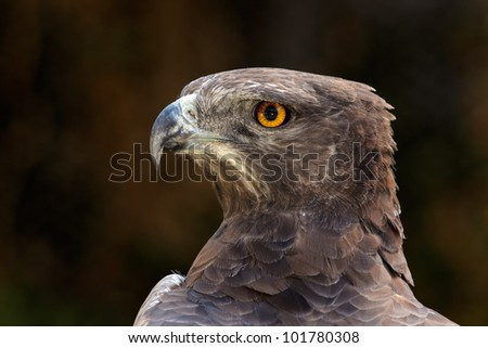 Portrait of a martial eagle (Polemaetus bellicosus), South Africa