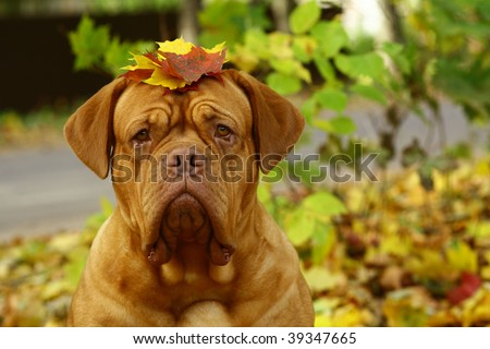Portrait of a mastiff from Bordeaux in autumn leaves.