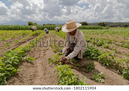 portrait of a Mexican farmer cultivating amaranth