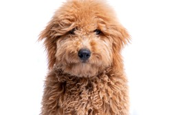 Portrait of a mini golden doodle puppy on a full white background