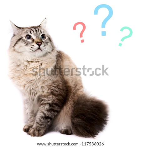 Portrait of a misunderstanding Siberian Cat on a white background.  Studio shot. - stock photo