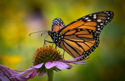 Portrait of a monarch butterfly seen from the side against a colorful blurred summer meadow background