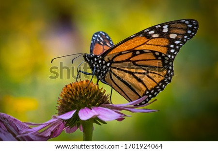 Portrait of a monarch butterfly seen from the side against a colorful blurred summer meadow background Stock photo ©