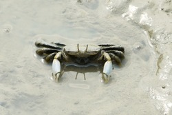Portrait of a Mud Crab